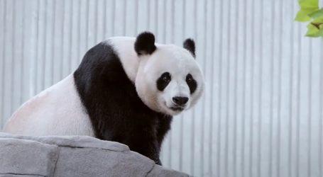 Pande ponekad laju, cvrkuću ili bleje, sve ovisi o raspoloženju
