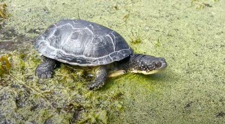 Toronto Zoo pustio 48 Blandingovih kornjača u divljinu
