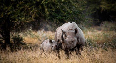 Na indonezijskom otoku snimili mladunce ugroženog javanskog nosoroga