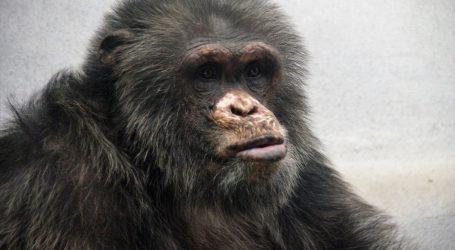 Zoološki vrt u San Francisku: U 63. godini uginuo najstariji mužjak čimpanze