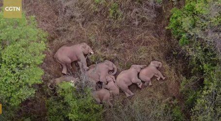 Krdo slonova koje luta Kinom dron snimio na spavanju