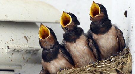 Mađar već godinama brine o lastavicama, gradi im gnijezda koja obožavaju