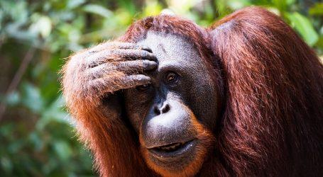 Indonezija: Orangutan ušetao u selo i nekoliko dana se družio sa seljanima