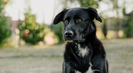U Australiji obučavaju pse za pronalaženje tartufa, uspješni u tom poslu su spasilački psi
