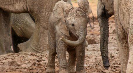 Albino slonica spašena iz zamke krivolovaca, najbolja prijateljica joj je ovca