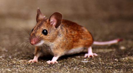 U Sloveniji epidemija mišje groznice