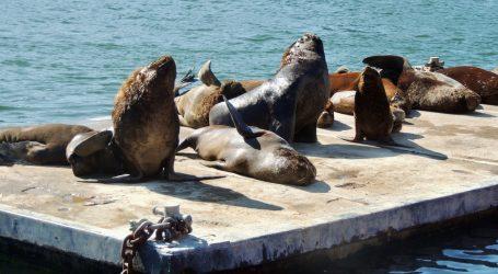 Morski lavovi izležavaju se na plažama čileanskog Toméa, ali ponekad krenu i u grad