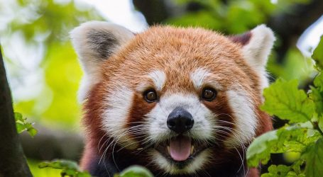Panda Jang nestala iz ZOO-a u Duisburgu, pronašli je u krošnji drveća