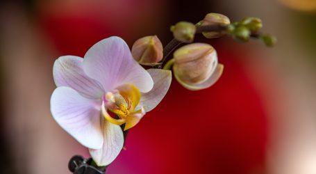 Ugrožena vrsta: Biolozi pokušavaju divlje orhideje zaštiti i vratiti u staništa