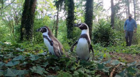 Ljeto u ZOO Oregon: Pingvini u šetnji šumom, vidre navalile na školjke