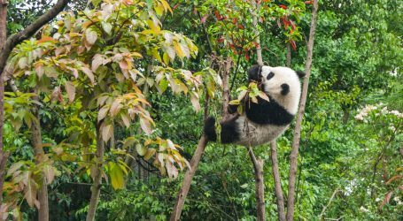 Veliki panda više nije ugrožena životinjska vrsta, sada su u skupini ranjivih