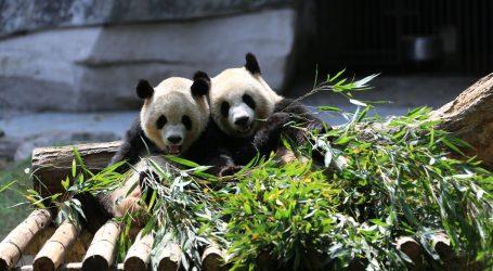 Zbog ravnoteže u organizmu pande često jedu raznovrsnu hranu