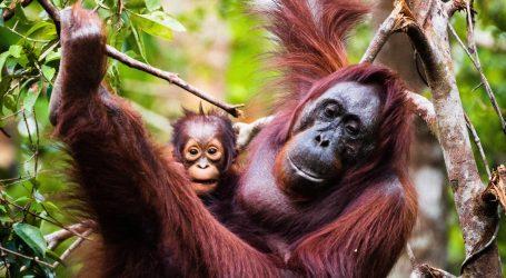 Orangutan u zoološkom vrtu poigrao se sunčanim naočalama pa ih vratio