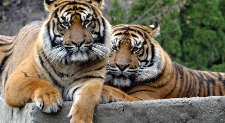Sumatranski tigrovi iz ZOO-a u Jakarti oporavili se od koronavirusa