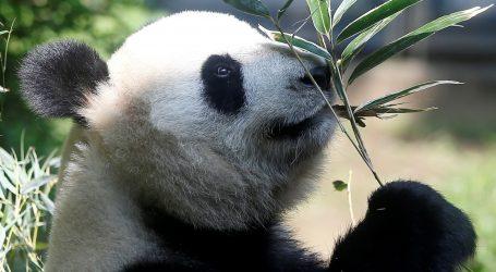 Velika panda Huan Huan rodila dvije bebe pande u francuskom zoološkom vrtu