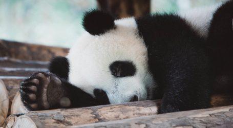 Jeste li znali: Mladunci velikog pande s osam mjeseci dobivaju trajne zube