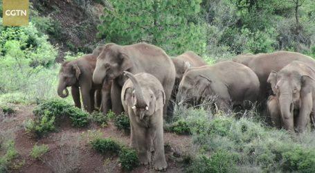 Kina: Vraćanje krda lutajućih divljih slonova nije bio lagan zadatak