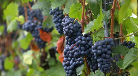 Grožđe je zdravo, najviše antioksidansa ima u pokožici i sjemenkama